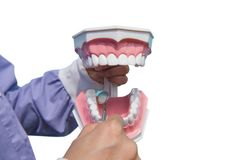 The dental model is used to teach how to check the cleanliness of the teeth by the doctor. isolated on white background. Of file with Clipping Path stock photo
