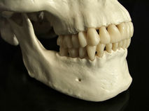 Dental occlusion Royalty Free Stock Photos
