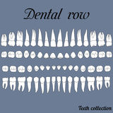 Dental row teeth. Anatomically correct teeth - incisor, cuspid, premolar, molar upper and lower jaw front and top views in  on white Royalty Free Stock Images