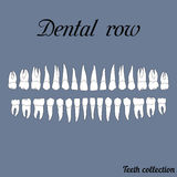 Dental row. Teeth - incisor, canine, premolar, molar upper and lower jaw. Vector illustration for print or design of the dental clinic Stock Image