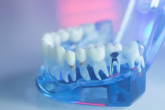 Dental teeth dentists model Stock Photos
