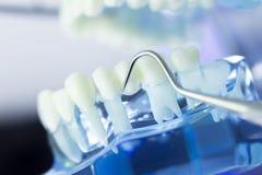 Dental teeth dentist model Royalty Free Stock Image