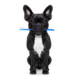 Dental toothbrush dog Stock Photos