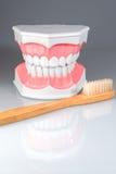 Dentalstudy model Stock Image