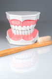 Dentalstudy-Modell Stockbild