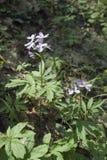 Dentaria quinquefolia 库存图片