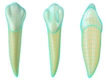 Dente canino mandibolare nelle viste vestibolari, palatali e laterali con wireframe al neon blu che avvolge il dente 3d realistic illustrazione vettoriale