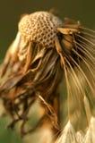 Dente-de-leão Imagem de Stock