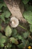 Dente-de-leão Foto de Stock