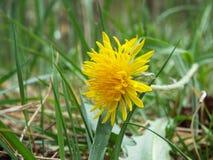 Dente-de-leão amarelo Imagem de Stock Royalty Free