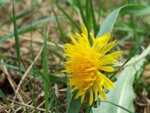 Dente-de-leão amarelo Imagem de Stock