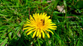 Dente-de-leão amarelo com abelha, close-up imagens de stock royalty free