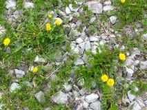 Dente-de-le?o amarelo e grama verde que quebram atrav?s das pedras foto de stock royalty free
