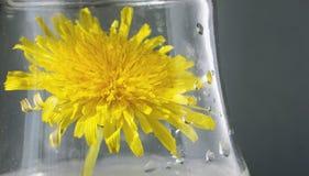 Dente-de-leão amarelo em um frasco de vidro Fotos de Stock