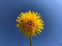 Dente-de-leão amarelo de florescência em um fundo azul fotografia de stock