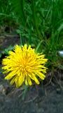 Dente-de-leão amarelo Imagem da única flor amarela do dente-de-leão na grama verde Barnaul, Rússia, em junho de 2016 Fotos de Stock