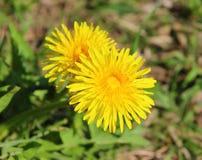 Dente-de-leão amarelo no fundo verde no jardim no dia ensolarado fotografia de stock