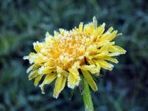 Dente-de-leão amarelo no prado, Lituânia fotos de stock royalty free