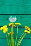 Dente-de-leão branco na superfície de madeira do verde Flores selvagens Fotos de Stock