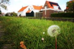 Dente-de-leão com as casas holandesas tradicionais como o fundo imagem de stock royalty free