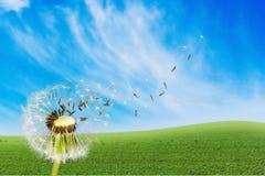 Dente-de-leão com as sementes de sopro no fundo azul fotografia de stock