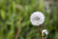 Dente-de-leão com grama verde fora de foco Imagens de Stock Royalty Free