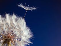 Dente-de-leão com a semente que funde afastado no vento imagens de stock royalty free