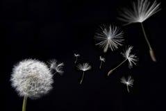Dente-de-leão com sementes de flutuação Fotos de Stock Royalty Free