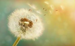 Dente-de-leão com sementes do voo em um fundo luminoso bonito Imagens de Stock Royalty Free