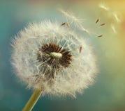 Dente-de-leão com sementes do voo em um fundo luminoso bonito Fotografia de Stock
