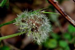 Dente-de-leão com suas sementes em um close-up fino da haste imagem de stock royalty free