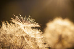 Dente-de-leão da flor. Close-up Imagens de Stock