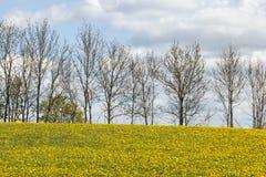 Dente-de-leão de florescência Fotos de Stock