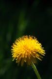 Dente-de-leão de florescência Imagem de Stock