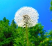 Dente-de-leão do ar da flor do verão, bola macia fotos de stock royalty free