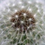 Dente-de-leão do vento Fotografia de Stock