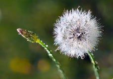 Dente-de-leão e dewdrops Fotografia de Stock Royalty Free