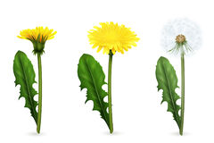 Dente-de-leão em fases diferentes de florescer o grupo realístico ilustração do vetor