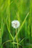 Dente-de-leão em um campo verde do verão Imagem de Stock Royalty Free