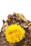 Dente-de-leão em um coto seco Fotos de Stock Royalty Free