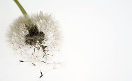 Dente-de-leão encantador fotografia de stock royalty free