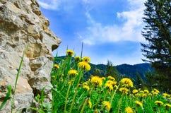 Dente-de-leão entre flores Fotos de Stock