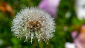 Dente-de-leão na flor Imagens de Stock Royalty Free
