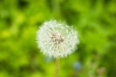 Dente-de-leão na natureza, fundo da grama verde Dente-de-leão, única flor, flor Copie o espaço Fotos de Stock