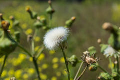 Dente-de-leão na semente Foto de Stock