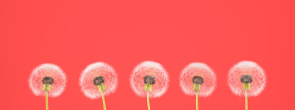 Dente-de-leão no fundo colorido rendição 3d Imagem de Stock Royalty Free