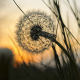 Dente-de-leão no por do sol Imagem de Stock Royalty Free