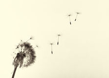 Dente-de-leão no vento fotografia de stock