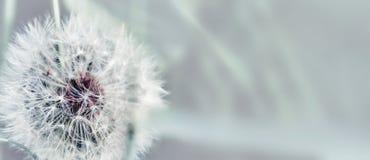 Dente-de-leão próximo acima no fundo natural Flor do dente-de-leão no prado do verão fotografia de stock royalty free