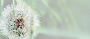Dente-de-leão próximo acima no fundo natural Flor do dente-de-leão no prado do verão foto de stock royalty free